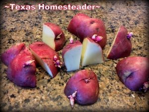 I've planted potatoes in the ground, but this year I'm planning for not only a more bountiful harvest, but an easier one too! Cutting chits #TexasHomesteader