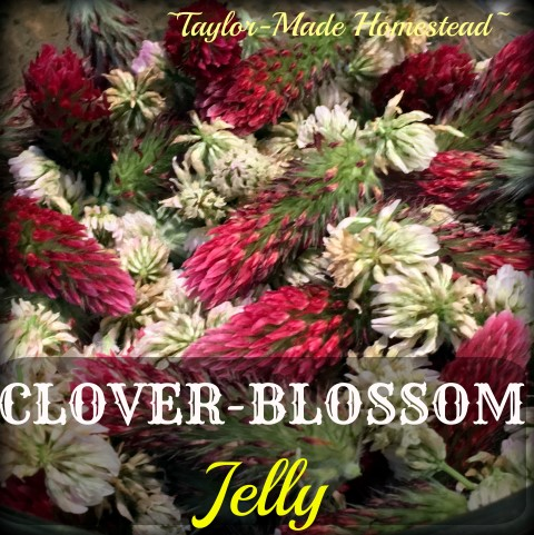 We have lots of clover blossoms in the pastures. Why not make Clover-Blossom Jelly with those fragrant blooms? It is delicious! #TaylorMadeHomestead