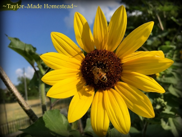 Wordless Wednesday: Sunflowers & honeybees. Two of my favorite things in one shot. Both just beautiful to me! #TaylorMadeHomestead