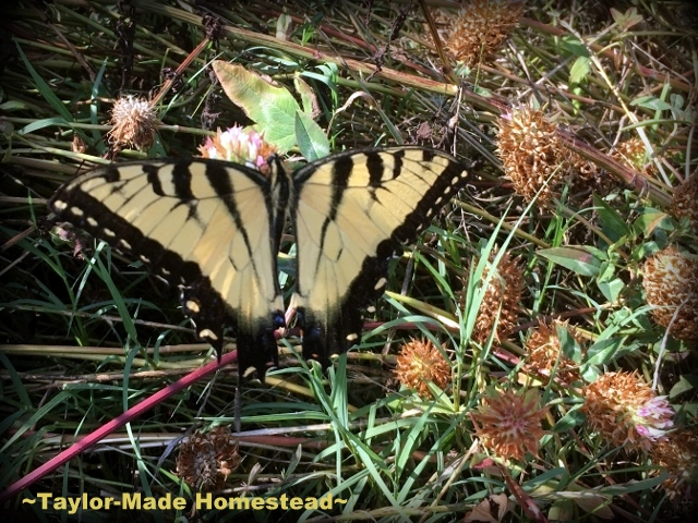 As I was walking through the clover field I spied this colorful Tiger Swallowtail butterfly silently floating from bloom to bloom. #TaylorMadeHomestead