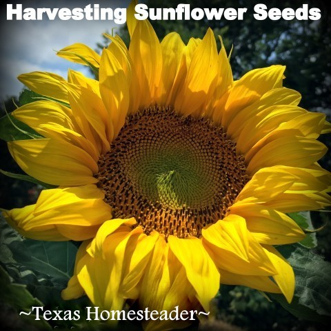 I love sunflowers! Many people like to eat sunflower seeds or add them to their bird feeders. It's easy to harvest the seeds. #TexasHomesteader