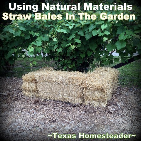 Using Straw in the vegetable garden to preserve moisture. AND reduce weeds! Come see how a bale of straw does double duty. Nothing's wasted. #TexasHomesteader