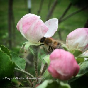 Honeybee in Apple Blossom. April Garden Update. I've had some powerful setbacks to planting my veggie garden this month! Come see how I overcame the adversity. #TaylorMadeHomestead