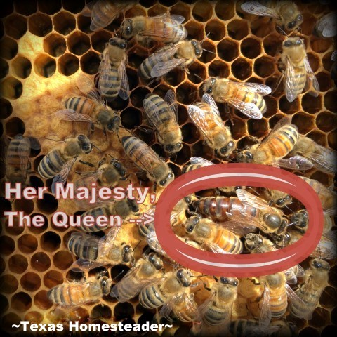 Spotting the queen bee. Beginning Beekeeping Series: Today we're talking about why and how to expand your bee hives. (We're using Langstroth hives) #TexasHomesteader