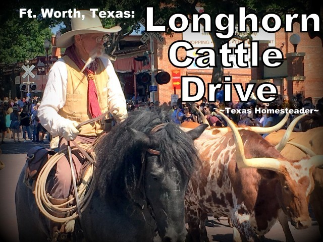 Longhorn Cattle Drive. We took a vacation in Ft. Worth, Texas. I've lived in the Dallas area most of my life, so of course I've been to Ft. Worth many times. But it was always to drive to a specific location or event, never to stay & play. Now this is gonna be fun! #TexasHomesteader
