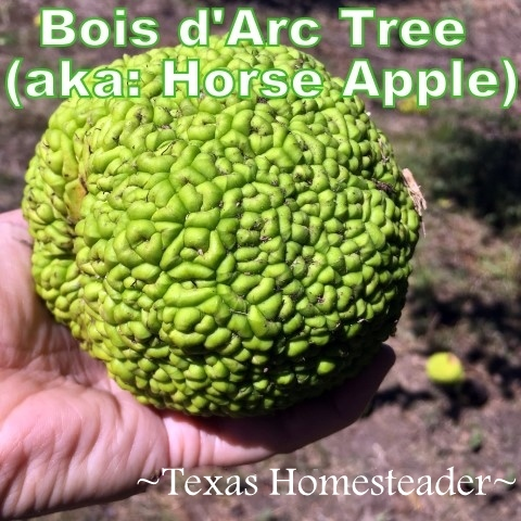 We have several Bois d'Arc trees on our property. Although they're beautiful, they're incredibly functional as well. And how about those crazy-looking horse apples? #TxHomesteader