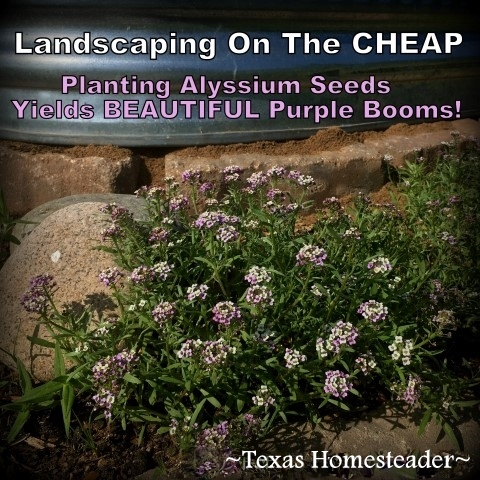 We needed to landscape our porch area. But soil and plants are expensive! Come see how I landscaped it beautifully on the cheap. #TxHomesteader