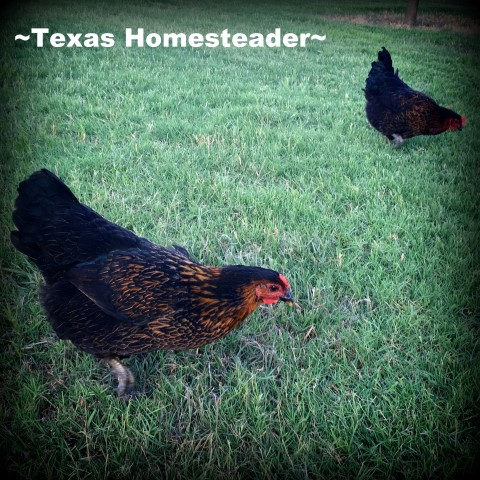 Using items picked up second hand we constructed a large chicken feeder that doesn't waste feed. See how! #TexasHomesteader