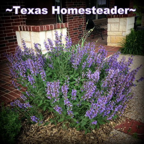 Purple blooming sage bush. May is typically a great month for the garden. C'mon and walk with me through the veggie garden & let's see what's growing on these days. #TexasHomesteader