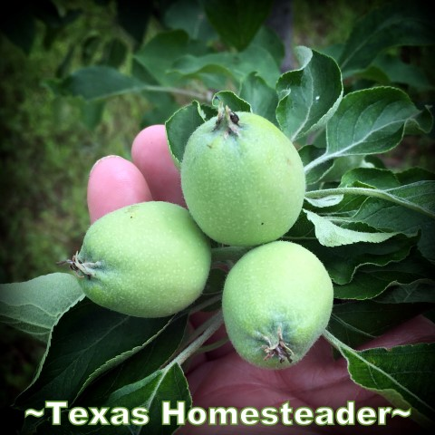 May is typically a great month for the garden. C'mon and walk with me through the veggie garden & let's see what's growing on these days. #TexasHomesteader