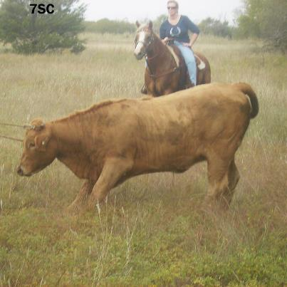 Wild cow wrangled with help of hired cowboys. #TexasHomesteader