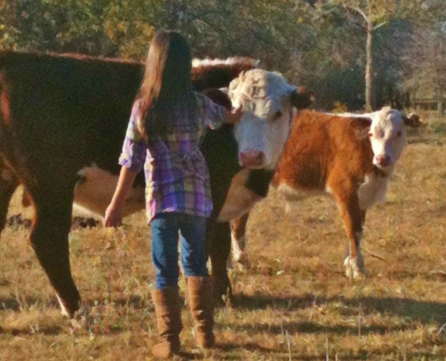 A gentle Hereford bull. #TexasHomesteader