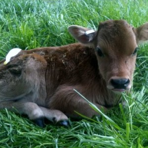 Each spring we purchase 3-4 bottle calves to raise - Lots of work but we love it! #TexasHomesteader