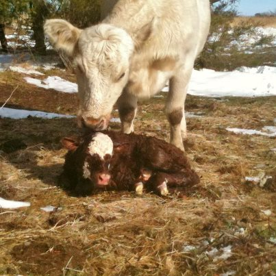 A new calf is born on a snowy day on the Homestead. #TexasHomesteader