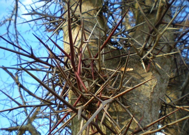 Honey Locust Thorns. Wonder what it's like to live & work on a Texas homestead? Well c'mon down & spend the day with us! #TexasHomesteader