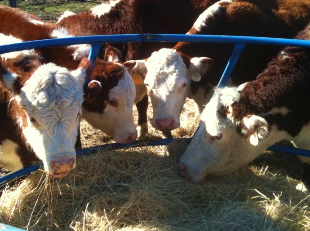 Hereford cattle at hay ring #TexasHomesteader