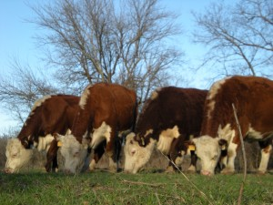 Ranching is a wonderful life filled with many delights. But it can be a hard life too. See what we struggle with. #TexasHomesteader