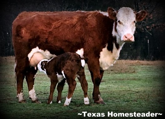 New baby calf. Walk around with us today to see what a day at the homestead is like! Put on your mud boots, grab your gloves & follow me - it'll be a blast! #TexasHomesteader