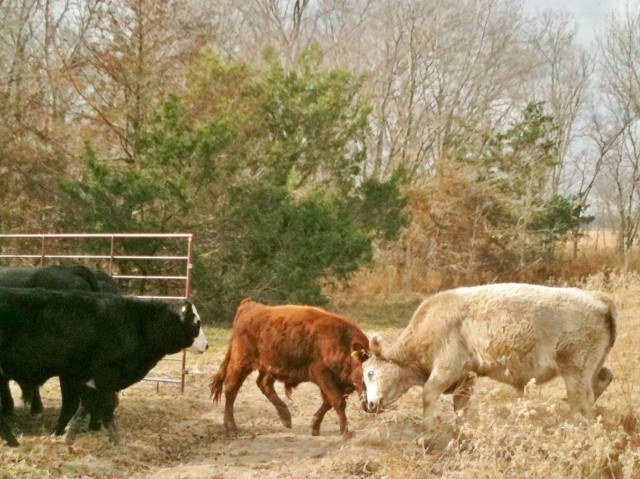 fighting steers. Make hay while the sun shines. Days and times on a Texas ranch. #TexasHomesteader