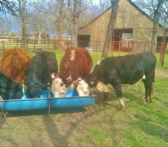 We raise registered Hereford cattle but we also raise stocker cattle each year to balance out our pasture grass. #TexasHomesteader