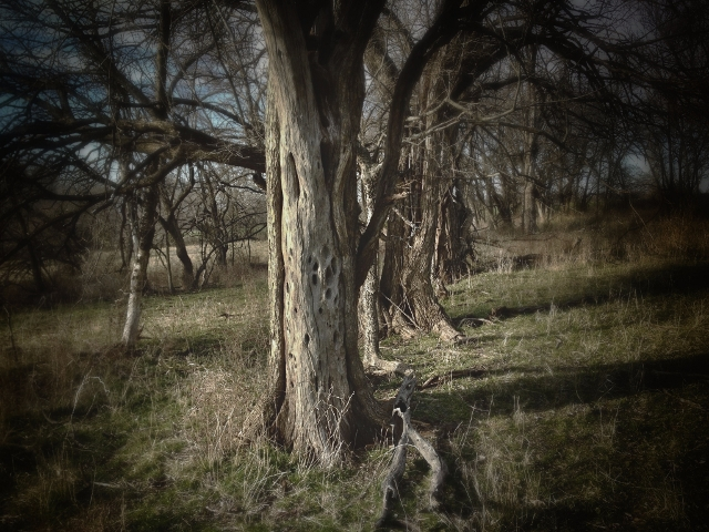Bois d'Arc trees in old, abandoned fence line. #TexasHomesteader