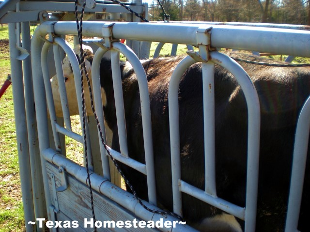 Working cows in the chute can be dangerous. Wild Cows - Staying safe on the ranch. #TexasHomesteader