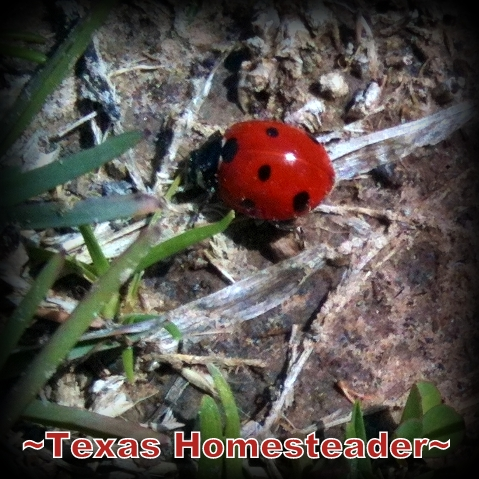 Lady bug. Spring is almost here. Loving life here in NE Texas. #TexasHomesteader