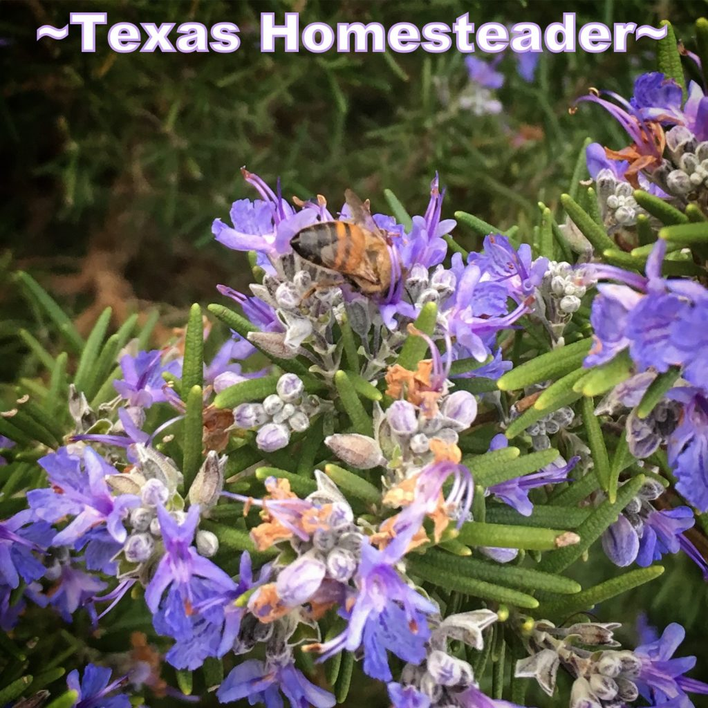 Rosemary blooms with honeybee. It's a wondrous world in the country, especially when viewed through a city-girl's eyes. Come see & experience with me #TexasHomesteader