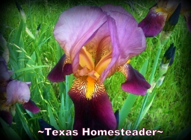 Beautiful color, timeless memories in these purple Iris blooms. #TexasHomesteader