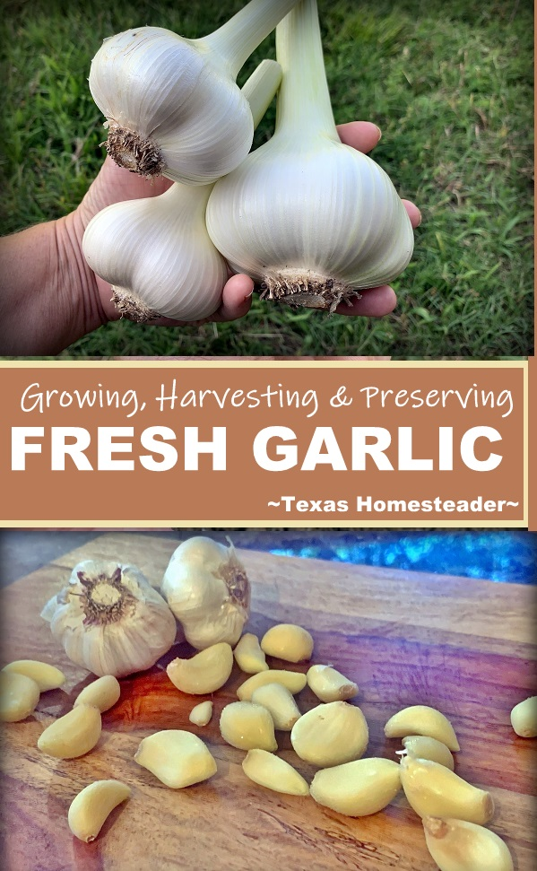 We grow lots of garlic, and we make sure to preserve it so it's not wasted. See what methods are successful for us. #TexasHomesteader