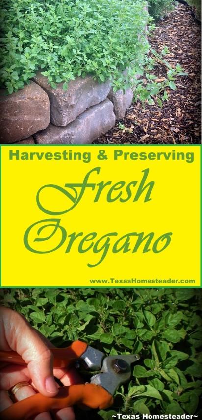 Harvesting & Preserving Fresh Oregano From The Edible Landscape Garden. #TexasHomesteader