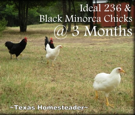 We are raising Black Minorca and Hybrid Ideal 236 chickens and it has been so much fun. Read about our experience with them. #TexasHomesteader