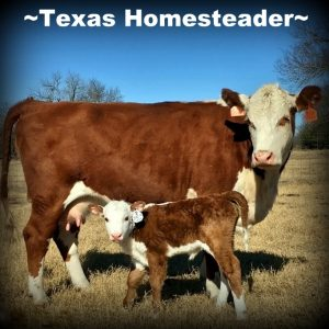 Baby calf. Our Homestead - Building Our New Life: See how we got our start in this beautiful location in NE Texas to begin our homesteading dream #TexasHomesteader