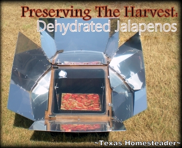 I use my solar oven to dehydrate jalapenos from our garden. I grind them into a powder and use them to put some SIZZLE into our food. #TexasHomesteader