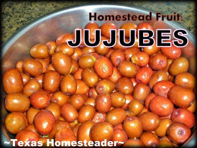 The old trees at the abandoned homestead were Jujube Fruit. I experimented with different ways to preserve the fruit - come see! #TexasHomesteader
