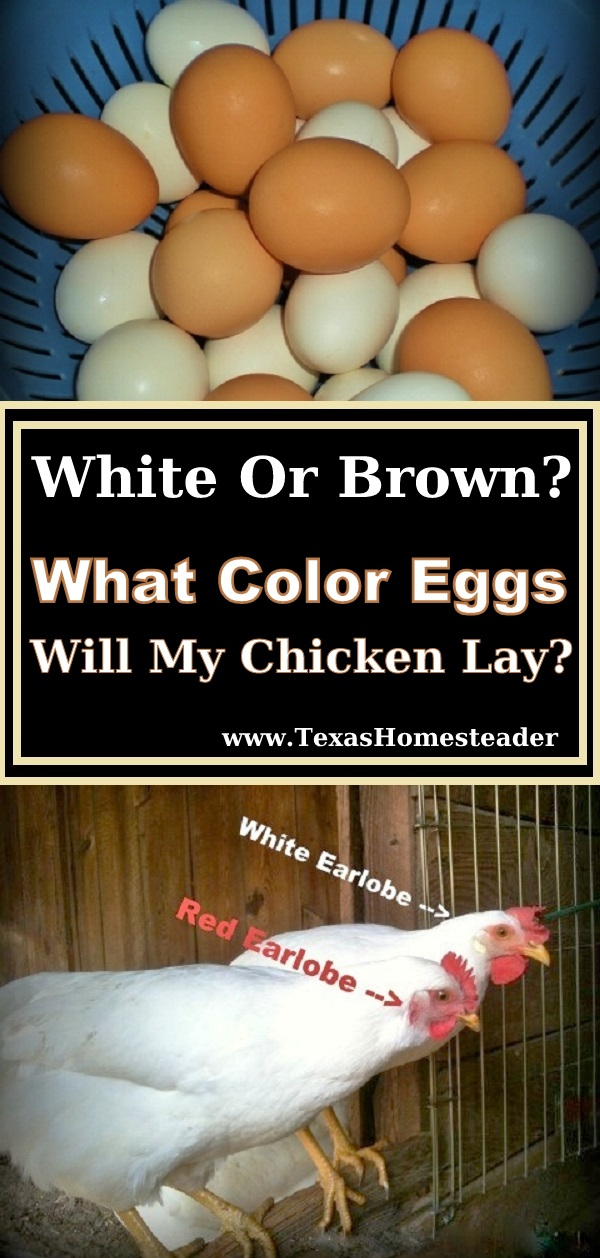 Who's laying the brown eggs, who's laying the white one? I guess it's not an old wives tale after all, I discovered you can tell what color eggs your hens will lay by the color of their ear lobes! #TexasHomesteader