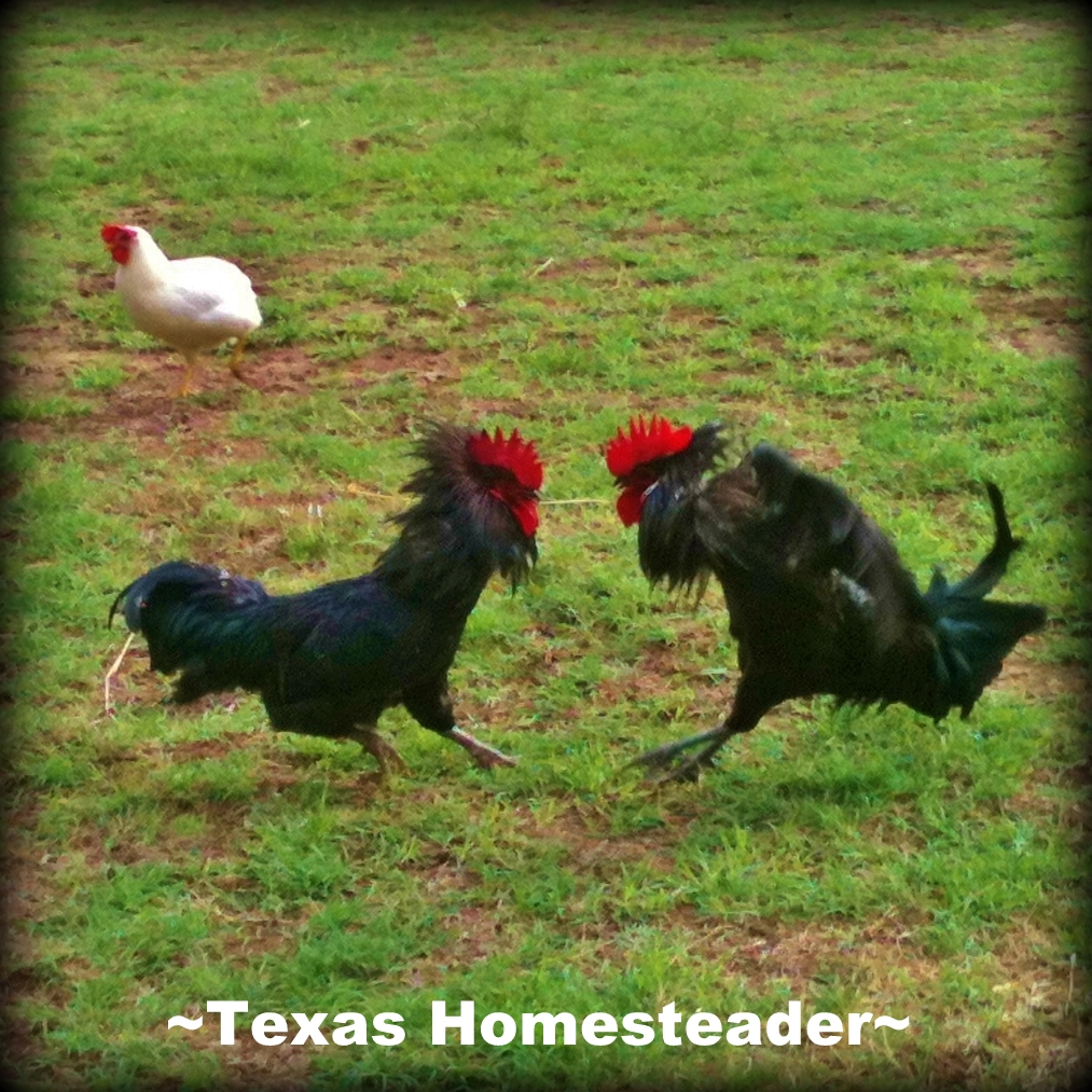 Someone got up on the wrong side of the bed this morning - which apparently makes for some grumpy roosters! #TexasHomesteader