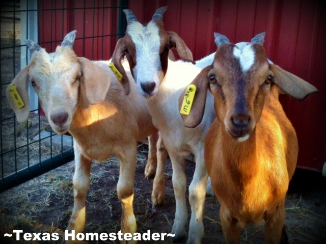 We recently purchased Boer/Kiko cross goats and plan to use them for brush control on our Texas homestead. #TexasHomesteader