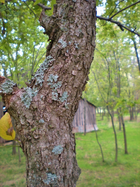Soap That Grows On Trees? I've discovered Western Soapberry Trees on our property. How exciting to think these trees provide us more natural cleaning! #TexasHomesteader