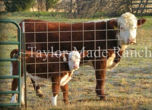 Father & Son Registered Hereford Bull