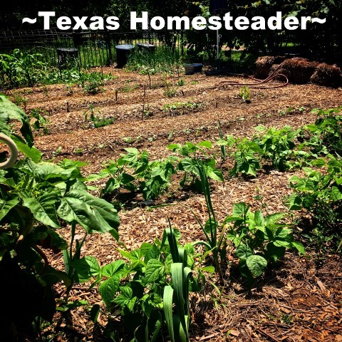 Keep the cost of vegetable gardening low by thinking outside the box. Come see the various items we use to fill needs in the garden. #TexasHomesteader