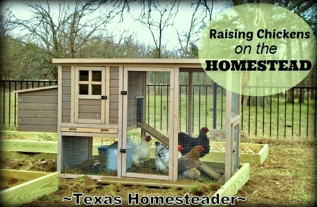 Our chicken breeder raises various breeds of chickens, so we bought laying hens. I loved raising chickens last year, here we go again! #TexasHomesteader
