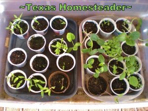 Indoor greenhouse using a clear lidded tub. 5 Frugal Things I did this week to save money. This week I'm talking all about saving money on gardening. Come see! #TexasHomesteader