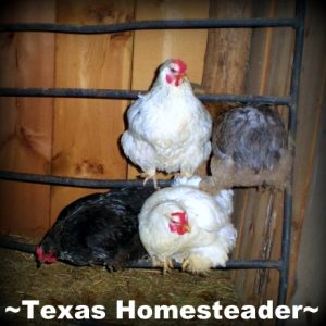 Teaching Young Hens To Roost. See how we get our new chickens to free range during the day yet come back to the coop each night to be locked securely from predators. #TexasHomesteader