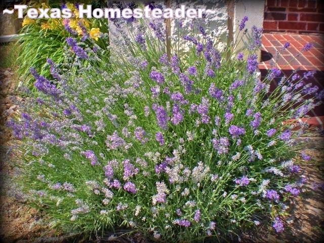 I love when the lavender blooms. Beautiful and oh-so-fragrant! #TexasHomesteader