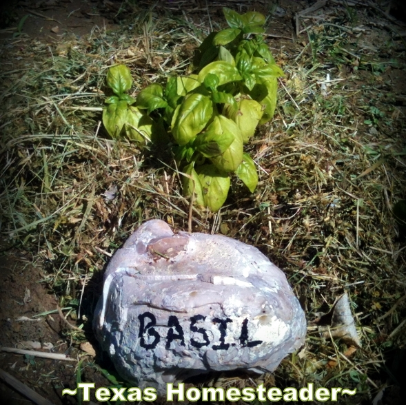 Plant marker using painted rock. Keep the cost of vegetable gardening low by thinking outside the box. Come see the various items we use to fill needs in the garden. #TexasHomesteader