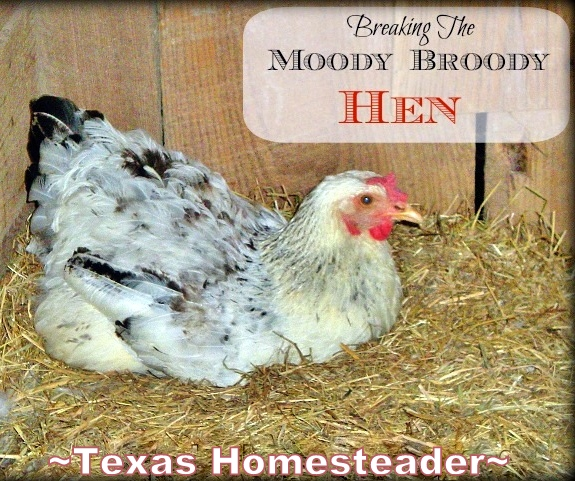 A broody hen won't lay the eggs that we count on - See what we did to successfully & quickly break the Moody Broody Hen! #TexasHomesteader