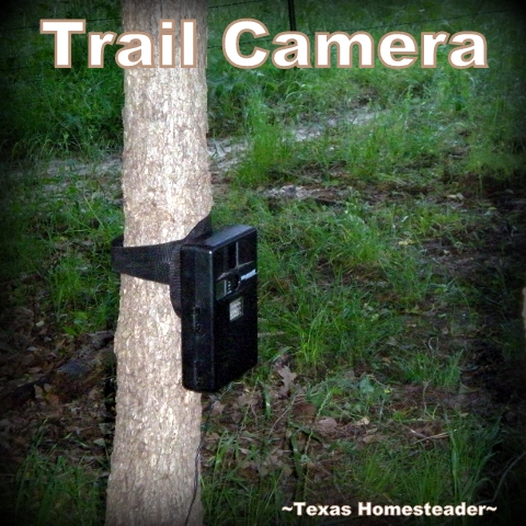 Trail camera. Mysterious daytime predators have been taking our hens. Coyotes? Hawks? Bobcats? Something else? We don't know. Offer advice if you can. #TexasHomesteader