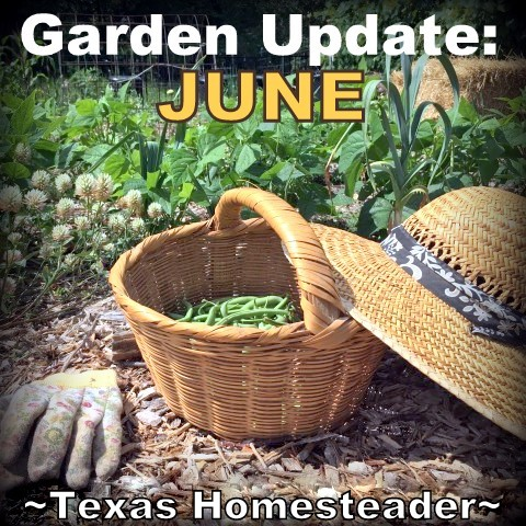 Harvesting from the garden has begun in earnest. It won't be long before the oppressive Texas heat halts much of the production so I'm taking advantage now! #TexasHomesteader