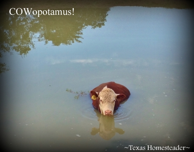 While strolling through the pastures RancherMan & I discovered a new form of life - a hybrid hippo & bovine - COWopotamus! #TexasHomesteader